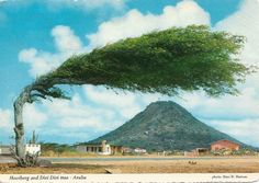 The Divi Divi tree: the often strong trade winds ubiquitous throughout the Caribbean, Central and South American coasts, is a result of their contorted countenance. The tree is also a natural compass...the divi divi always point southwest.
