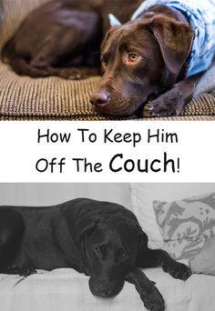 How to keep your dog off the couch! Training techniques and tips for Labradors that love to climb on the furniture