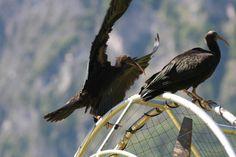 La migrazione dell'Ibis eremita