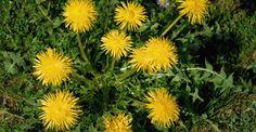 Ταραξάκο: Ενα βότανο υπερτροφή! http://biologikaorganikaproionta.com/health/148587/