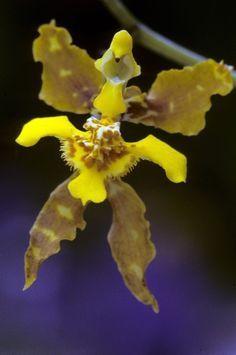 Exotic Orchids| Serafini Amelia| Yellow Flower-Oncidium micropogon