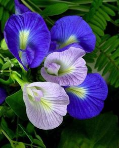 Growing Butterfly Pea- A blog on terrace gardening in pots and containers