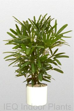 What are the best indoor plants for Brisbane? The best office plants include Zanzibar Gem, which is a low light plant. At IEQ we know our plants. Indoor Palm Trees, Indoor Palms, Best Indoor Plants, Green Plants, Tropical Plants, Best Office Plants, Lipstick Plant, Architectural Plants, Rainforest Plants