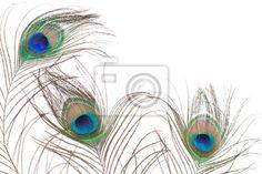 Fotobehang pauw veren geïsoleerd op een witte achtergrond