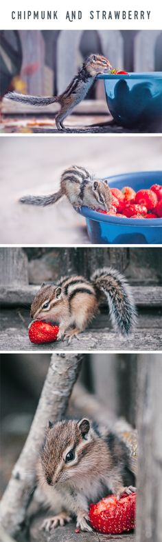 Live of Little chipmunk eating a strawberry on a wooden fence. Cute Chipmunk with Strawberry by Oksana Ariskina.Available as mugs, posters, greeting cards, phone cases, throw pillows, framed fine art prints, metal, acrylic or canvas prints, shower curtains, duvet covers with my fine art photography online: www.oksana-ariskina.pixels.com #OksanaAriskina