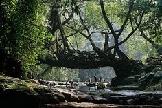 """One of the """"living root bridges"""" in Cherrapunji (AKA Sohra), Meghalaya, India, where the bridges are not built, but grown...    Photo by Timothy Allen."""
