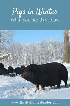 Pot Belly Pigs, Raising Goats, Future Farms, Pig Farming, Hobby Farms, Livestock, Farm Life, Farm Animals, Pet Care