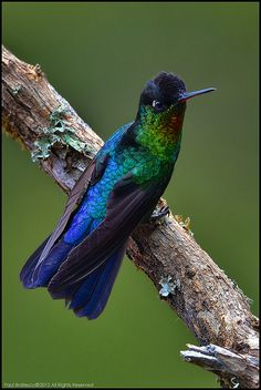 Fiery-throated Humming Bird | Flickr - Photo Sharing!