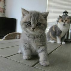 Cute British Kittens ❤