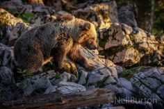 Mountain bear - A European brown bear (ursus arctos arctos) foraging in the mountains of Slovenia at sunset