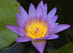 A lótus púrpura é conhecido como o lótus místico, representada apenas em algumas seitas esotéricas budistas. Pode ser representado de diversas maneiras, podendo estar em botão ou com as pétalas abertas.  As oito pétalas novamente simbolizam o Nobre Caminho Óctuplo, um dos principais ensinamentos do Buda e também as oito principais divindades dos mandalas. As flores de lótus roxas também podem estar representadas sobre uma bandeja ou um copo como um símbolo de homenagem.