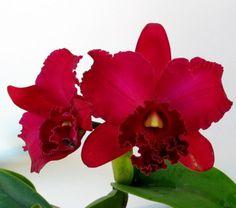 cattleya orchid - Buscar con Google