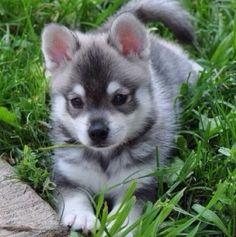 I want a pomsky! ❤️