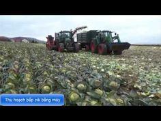Thu hoạch bắp cải bằng máy siêu nhanh trong nền nông nghiệp nước ngoài