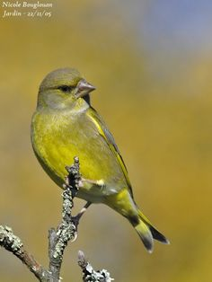 Greenfinch from Europe (Chloris chloris, formerly Carduelis chloris) is a partially migratory passerine, very widespread, of the family of the fringillidae. Greenfinch from Europe Pretty Birds, Beautiful Birds, Beautiful Pictures, Bon Image, Greenfinch, Cute Puppy Pictures, Little Birds, Bird Art, Animal Photography