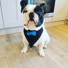 How cute is he? Design your own dog banana with name or personalised saying. Want some special object to be printed no problem, message us. Dog Bandana, Heat Transfer Vinyl, Design Your Own, Boston Terrier, Collaboration, French Bulldog, Ireland, Irish, Shops