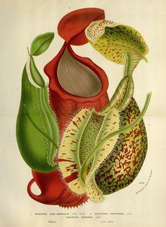 NEW Vintage Botanical Art Prints! Art Illustration Vintage, Plant Illustration, Botanical Illustration, Illustrations, Botanical Drawings, Botanical Prints, Impressions Botaniques, Illustration Botanique, Pitcher Plant