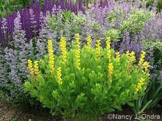 Baptisia sphaerocarpa 'Screamin' Yellow' with Nepeta 'Walker's Low', Cornus sericea 'Silver and Gold', and Salvia 'Caradonna'; Nancy J. Ondra at Hayefield
