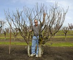 Four mature cherry trees - planted close together and pruned 2-3 times during the summer to keep them small