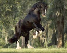 BB King, Gypsy Vanner stallion