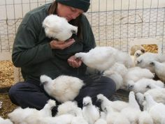Health Benefits of White Silkie chickens (don't really buy all this, but silkies are neat)