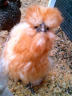Splash Silkie Bantam | Chickens | Bantam chickens, Bantam