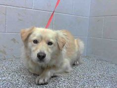 BANJO - ID #A476633  I am a male, tan Golden Retriever mix.  Shelter staff think I am about 1 year old.  I have been at the shelter since Dec 08, 2014. If I am not claimed, after my stray holding period, I may be available for adoption on Dec 13, 2014. For more information about this animal, call: San Bernardino City Animal Control at (909) 384-1304 Ask for information about animal ID number A476633 www.PetHarbor.com pet:SBCT.A476633