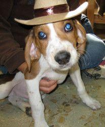 Starsky: Treeing Walker Coonhound, Dog; Wellsville, NY