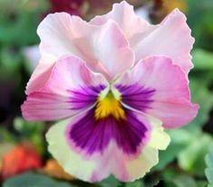 "thelordismylightandmysalvation: ""Pansy "" ♦๏~✿✿✿~☼๏♥๏花✨✿写☆☀🌸🌿🎄🎄🎄❁~⊱✿ღ~❥༺♡༻🌺<MO Mar ♥⛩⚘☮️ ❋ Amazing Flowers, My Flower, Flower Art, Flower Power, Beautiful Flowers, Cactus Flower, Exotic Flowers, Purple Flowers, Pink Purple"