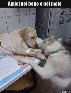 This veterinarian has a comfort dog assistant that helps sick dog patients know that everything will be alright Tags: Labrador Retriever, Puppy 792 points, 15 comments. Cute Funny Animals, Cute Baby Animals, Funny Dogs, Animals And Pets, So Funny, Cute Puppies, Cute Dogs, Dogs And Puppies, Doggies