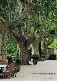 Provence, les platanes, c'est bien la France Plane trees pollarded.