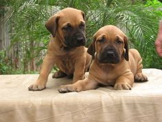 Fila Brasileiro (Brazilian Mastiff) Info, Temperament, Puppies ...