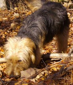 Bosnian Coarse-haired Hound Dog