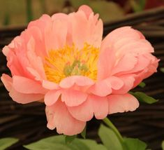 Paeonia 'Coral Charm' (Herbaceous Peony)
