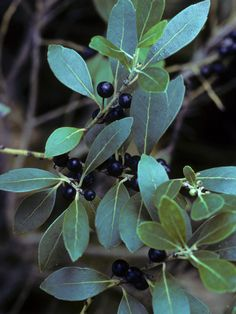 NATIVE: Ilex glabra (Inkberry) // A species of evergreen holly (shrub) native to Eastern North America in the United States and far southeast Atlantic Canada. Dwarf cultivars available- foundation planting