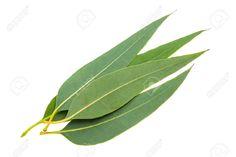 31874071-eucalyptus-leaves-isolated-on-white-background-Stock-Photo-leaf.jpg (1300×865)