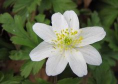 Anemone nemorosa Wood Anemone from E.C. Brown's Nursery