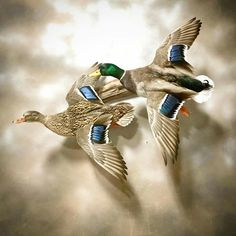 Waterfowl Hunting, Duck Hunting, Duck Mount, Taxidermy Display, Deer Mounts, Mallard, Deer Antlers, Ducks, Images