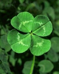 A rare and beautiful four-leafed clover.