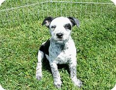 Liberty Center, OH - English Bulldog/Australian Cattle Dog Mix. Meet Lucy, a puppy for adoption. http://www.adoptapet.com/pet/13610099-liberty-center-ohio-english-bulldog-mix
