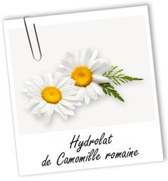 Hydrolat de Camomille romaine BIO   - Bibliothèque - Aroma-Zone