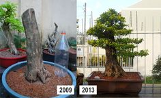 Duranta_grande_Ricardo_Paiva_before-after_2