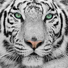 Tigre blanco. my fav. I want a baby white tiger one day...