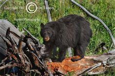 Limited Edition Nature Art Print. Diggin'It 3 -- Crumby Work. Wildlife photograph:  Bears, Yellowstone, Wyoming, Bear, Black Bear