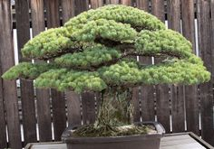 This Bonsai tree survived Hiroshima bombings and keeps growing. Currently located at the U. National Arboretum in Washington, D., the white pine was gifted to the United States by bonsai master Masaru Yamaki in Ikebana, Bonsai Plante, Japanese Bonsai Tree, Hiroshima Bombing, Pine Bonsai, Bonsai Art, Albizia Julibrissin, Rustic Fire Pits, Modern Fire Pit