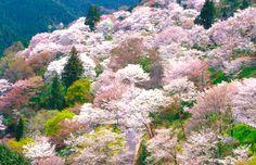 吉野千本桜の吉野山