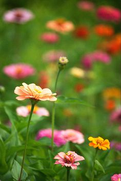 Zinnias - another easy-to-grow flower.  Sow seeds directly into ground and wait for your rainbow to bloom.