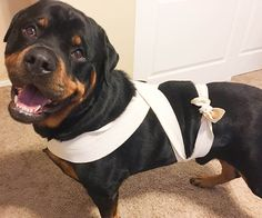 Creating a DIY dog anxiety wrap is really quite simple, and can help calm your dog during stressful situations. Learn how to create an ace bandage here! Dog Separation Anxiety, Dog Anxiety, Anxiety Help, Dog Wrap, Dog Training Classes, Crazy Dog Lady, Dog Blanket, Toy Puppies, Dog Walking