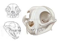 Some cat skull sketches done for anatomy practice (Right skull) done in Photoshop CS5 Gato-Iberico©