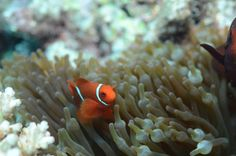 Clownfish Facts: Nemo wasn't the only Clownfish needing swimming lessons, most are poor swimmers preferring the safety of their anemone and the coral reef from the free flowing currents of the open ocean.